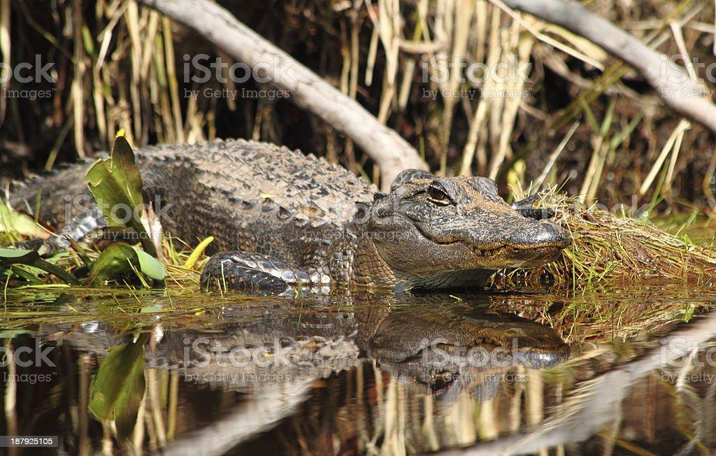 Lurking Alligator at Water's Edge stock photo
