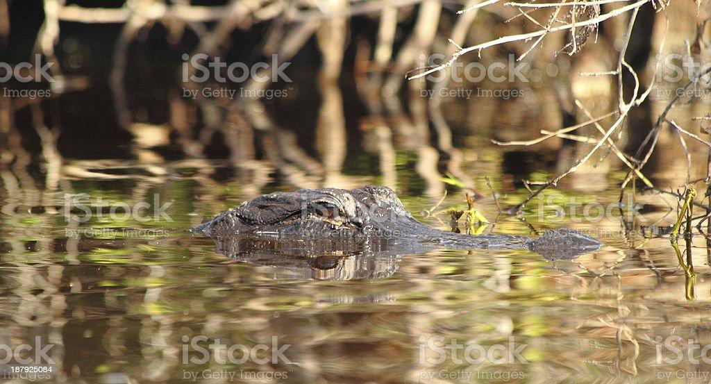 Lurking Alligator stock photo