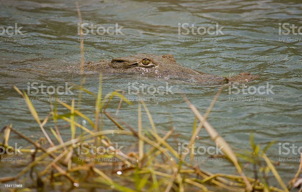 Lurking Crocodile royalty-free stock photo