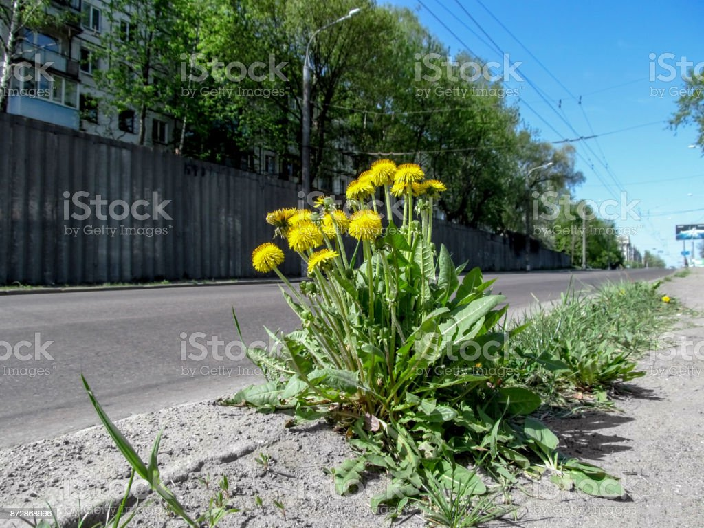 Lush beautiful young bush of the taraxacum  with lots of yellow sunny flowers isolated grows on the side of the road stock photo