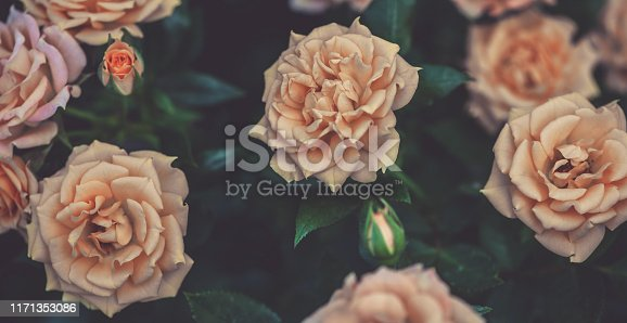 Lush blooming beige roses in the garden, dark vintage floral background.