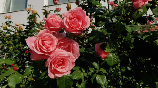 Lush blooming rose bush with luxuriant pink flowers closeup on green leaves blurred background. Floral garden with beautiful light red roses. stock photo