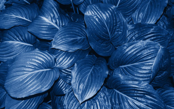 Lush blue leaves closeup toned in trendy classic blue color of the picture id1196253019?b=1&k=6&m=1196253019&s=612x612&w=0&h= 1e b4mnqirf7jpwcxoln5zqljacwlnw 8zersledvk=