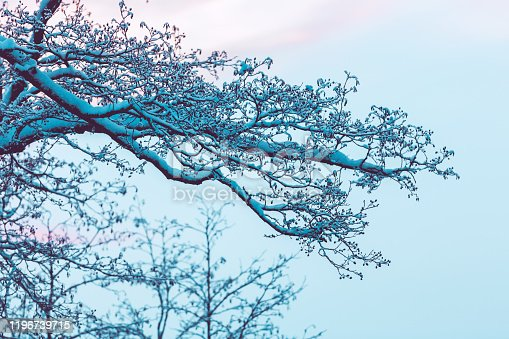 Lush branches of a tree in the snow. Hoarfrost on the branches. Snowy crown of a tree on a background of a sunset and a light blue sky. Winter landscape