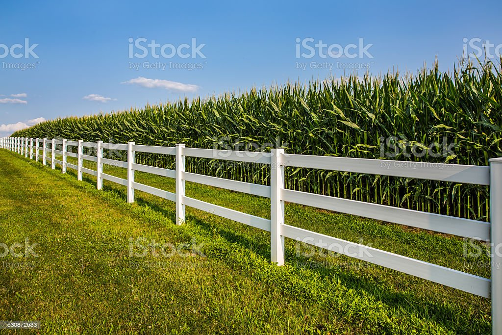 Lush cornfield with white fence and blue sky. stock photo
