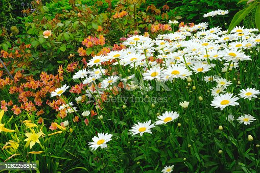 A lush English flowerbed with leucanthemums, day lilies and roses.
