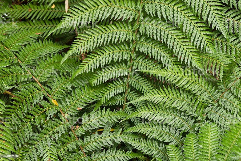 Lush ferns growing in rainforest at Otway national park, Australia stock photo