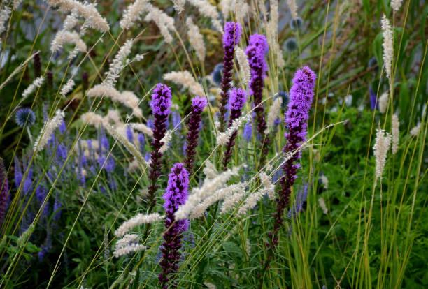 weelderige bloembed met salie blauwe en paarse bloem gecombineerd met gele siergrassen weelderige groene kleur meerjarige prairie bloembed in de stad - torch lily stockfoto's en -beelden