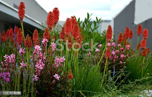 kniphofia, torch lily, uvaria, purple, orange, blue, torch, lily, roof, top, garden, flower bed, urban, lush, prairie, gaura, lindheimerei, patio, oenothera, spike, tritoma, bunch, vertical, cluster, flower, fluffy, gray, nature, flowers, summer, field, green, plant, spring, red, grass, bloom, meadow, pink