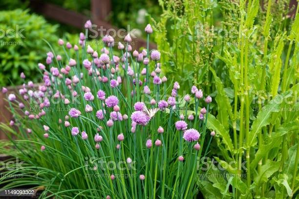 Photo of Lush flowering chives