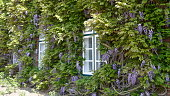 Lush floering wisteria on a facade of an old farmhause
