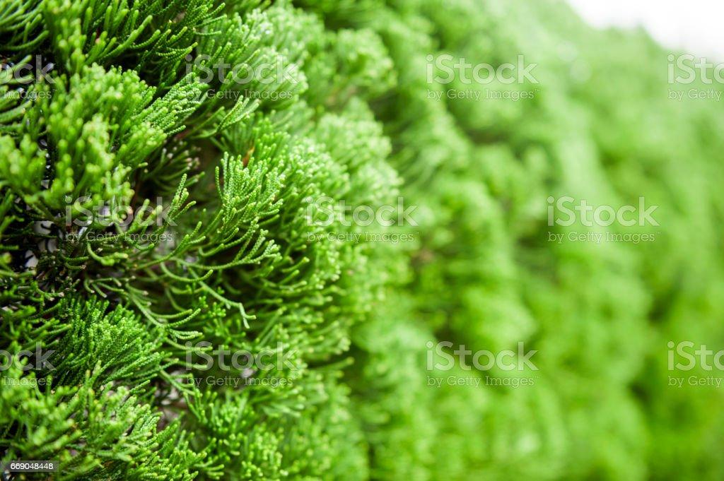 Exuberante folhagem de textura de fundo Cypress - foto de acervo