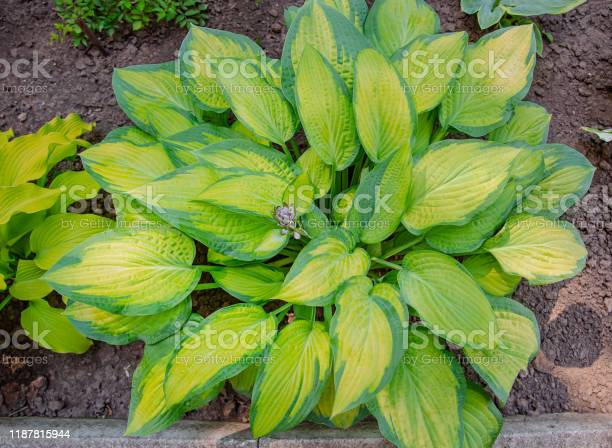Photo of Lush foliage of decorative plant Hosta Funkia. Natural green background. Beautiful plant host in the flowerbed in the garden.