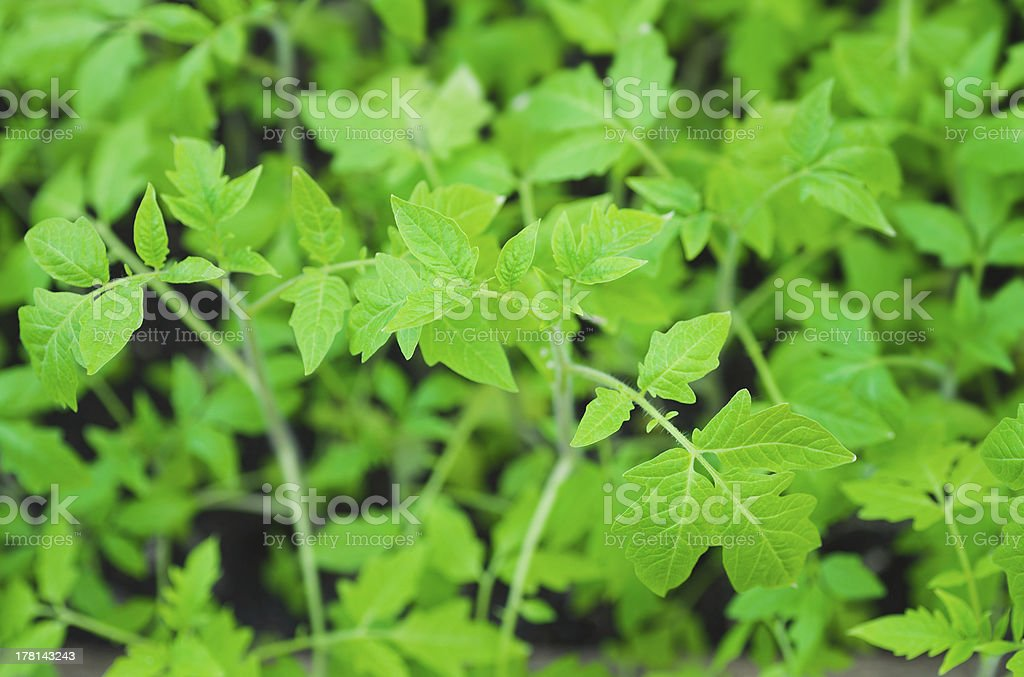 lush foliage of green tomato seedling royalty-free stock photo