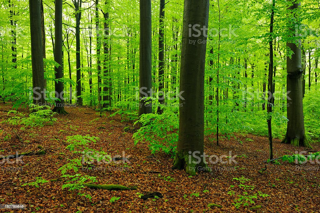 Lush Forest of Huge Beech Trees in Spring stock photo