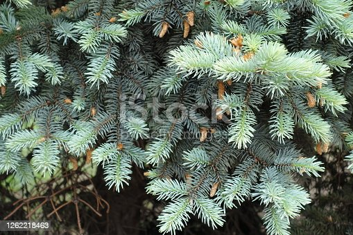 Lush fresh blue foliage on branches of Picea pungens in spring