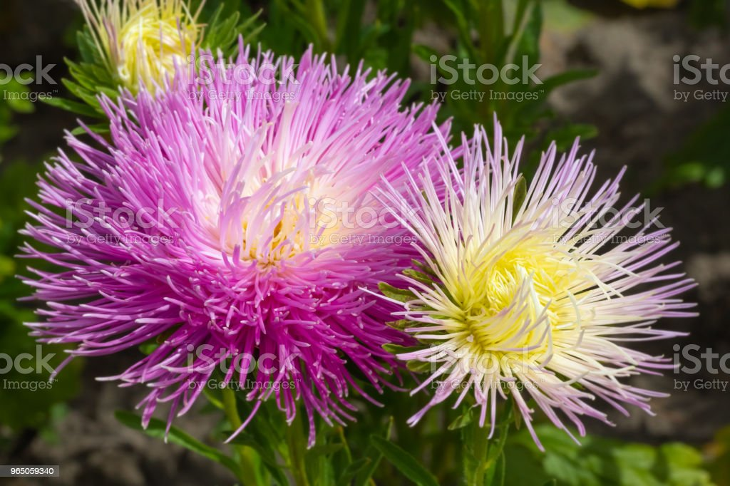 lush fresh purple flowers asters growing in the flower bed in the afternoon royalty-free stock photo