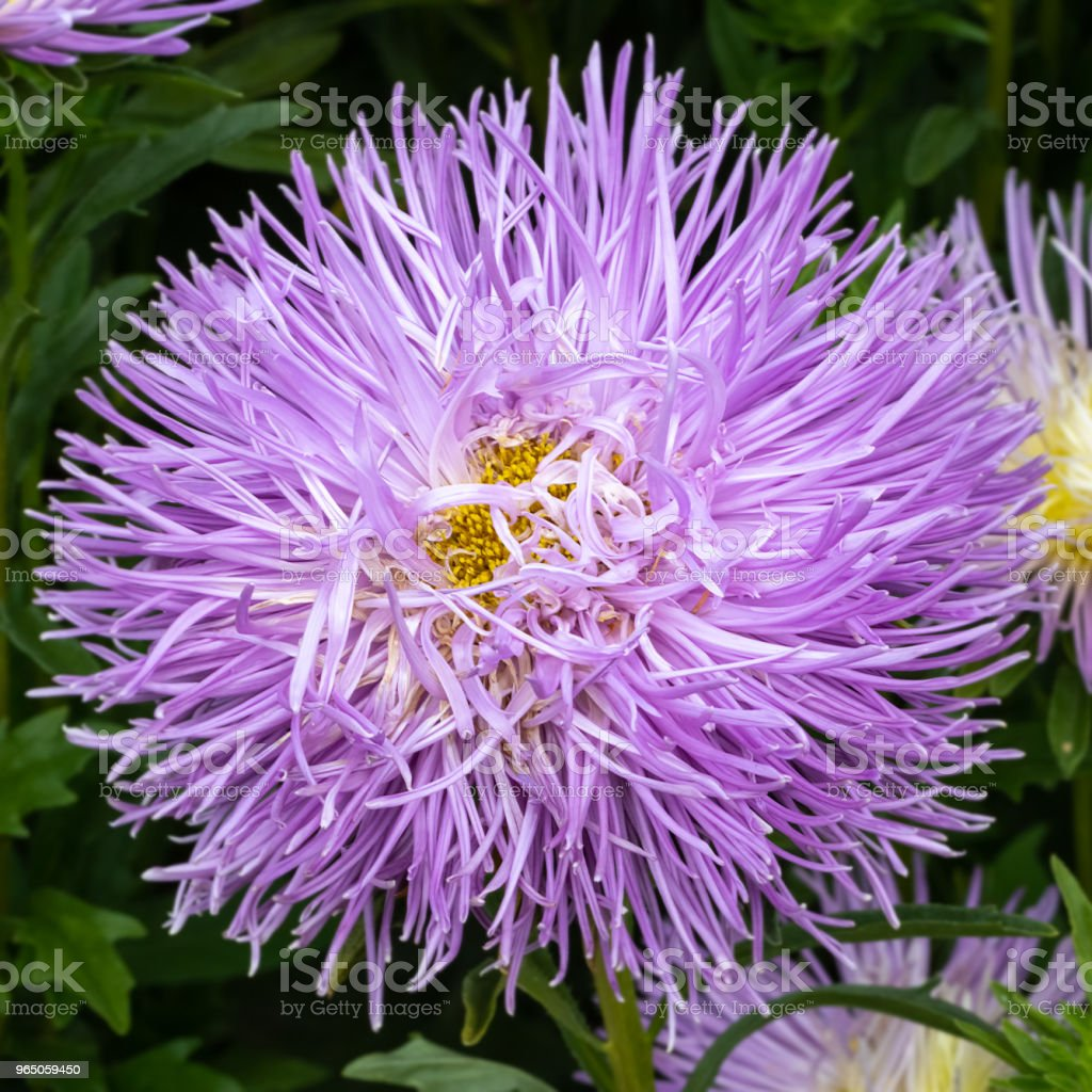 lush fresh purple flowers asters growing in the flower bed in the afternoon zbiór zdjęć royalty-free