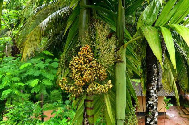 Üppige grüne Areca-Nuss palm – Foto