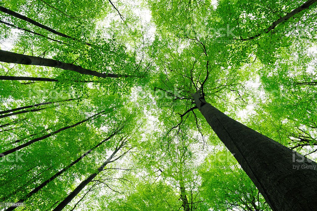 Lush Green Beech Tree Forest in Spring, low angle shot royalty-free stock photo