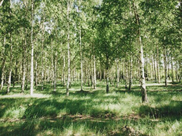 grönskande Björk dunge i Östergötland bildbanksfoto