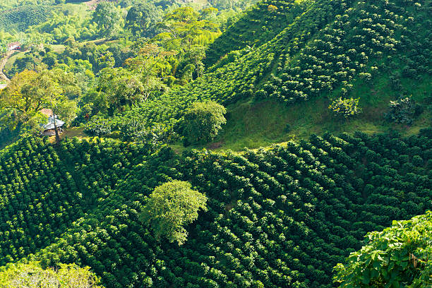 lush green coffee landscape - colombia land stockfoto's en -beelden