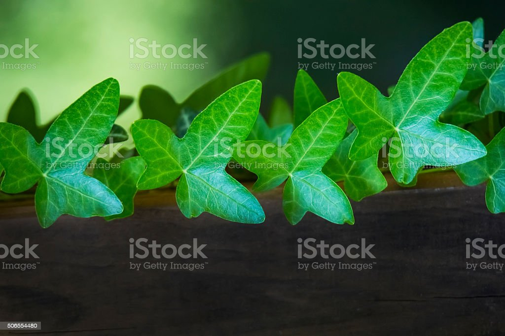 lush green common ivy climbing up a wooden stump stock photo