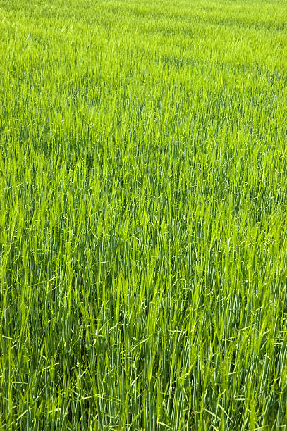 Lush Green Field stock photo