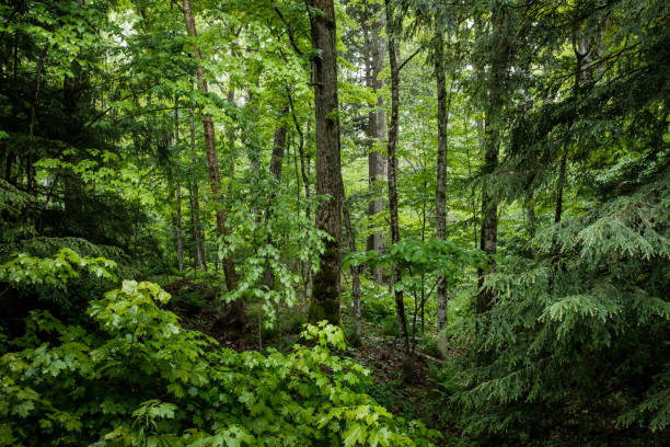 lush green forest - woodland stock pictures, royalty-free photos & images