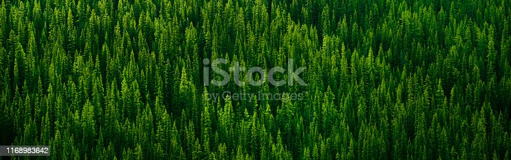 Wilderness woodland evergreen landscape trees in nature