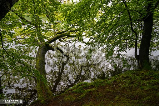 istock lush green forest with old tree hanging over a calm pond with reflections 1323222716