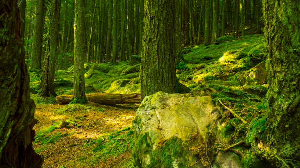 Lush Green Forest With Sun Beams stock photo