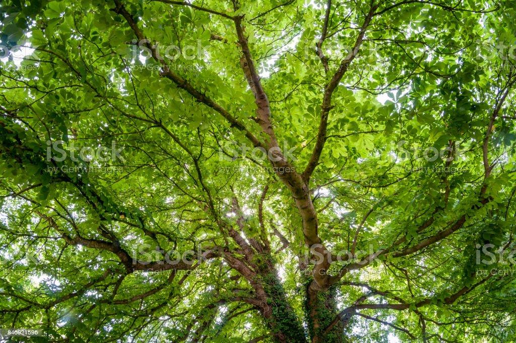 Lush Green Horse Chestnut Tree Canopy stock photo
