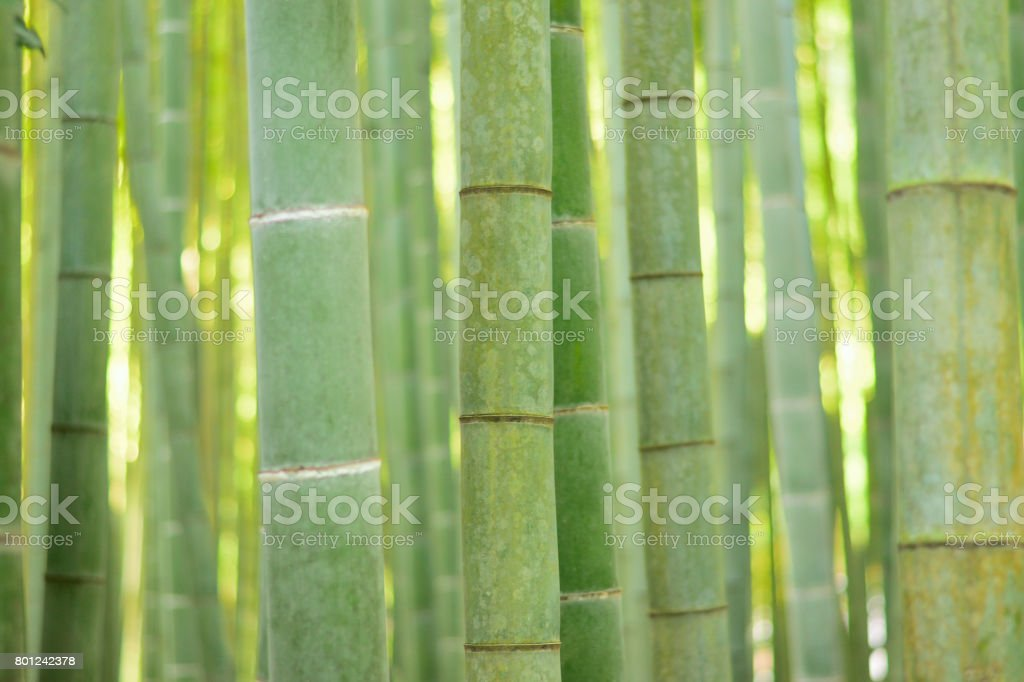 Lush green Japanese Bamboo forests background stock photo