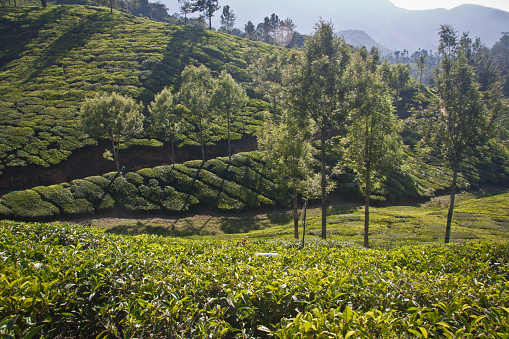 Lush Green Landscape Of Munnar Stock Photo - Download Image Now