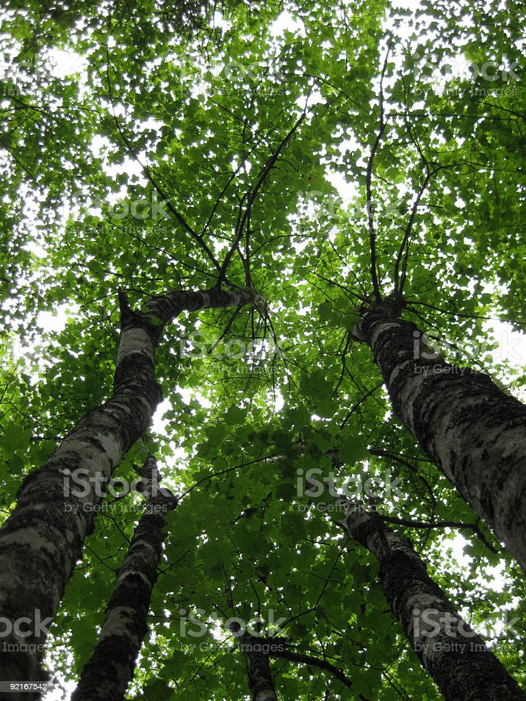 Lush, green, leafy tree tops - looking up royalty-free stock photo