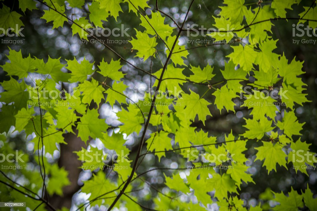 Lush Green Leaves during Spring stock photo