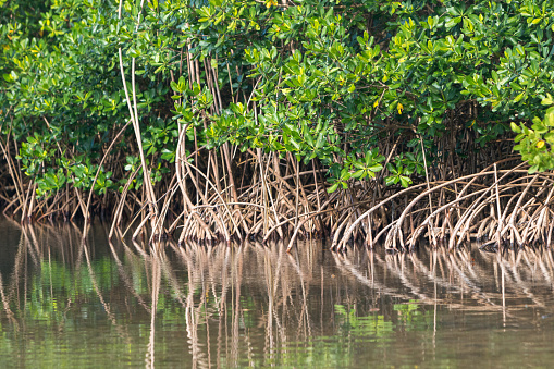 Lush green mangroves in tropical coastal swamp in Guadeloupe, Caribbean