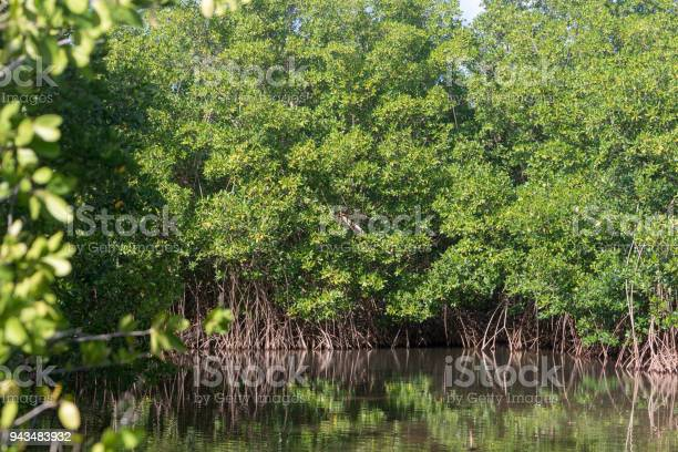 Photo of Lush green mangroves in tropical coastal swamp in Guadeloupe, Caribbean
