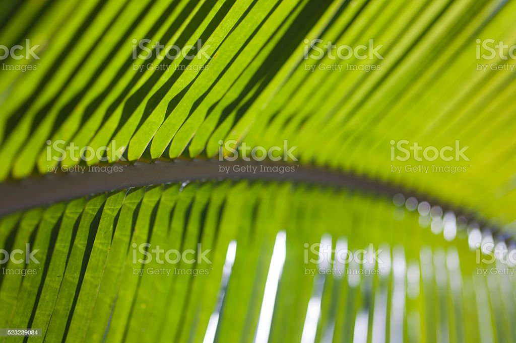Lush green palm leaf in Costa Rica stock photo
