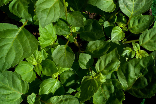 Lush Green Patchouli Plant Leaves stock photo
