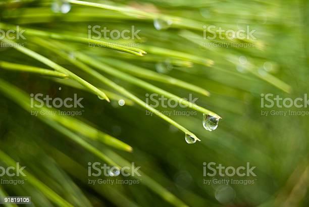 Photo of Lush green pine needles