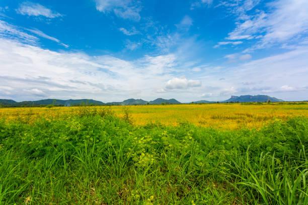 Lush green rice field stock photo