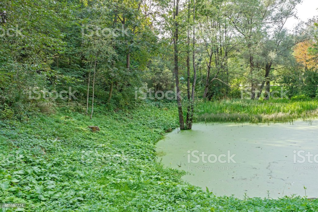 Lush green swamp, ecology, green swamp in the forest,natural...