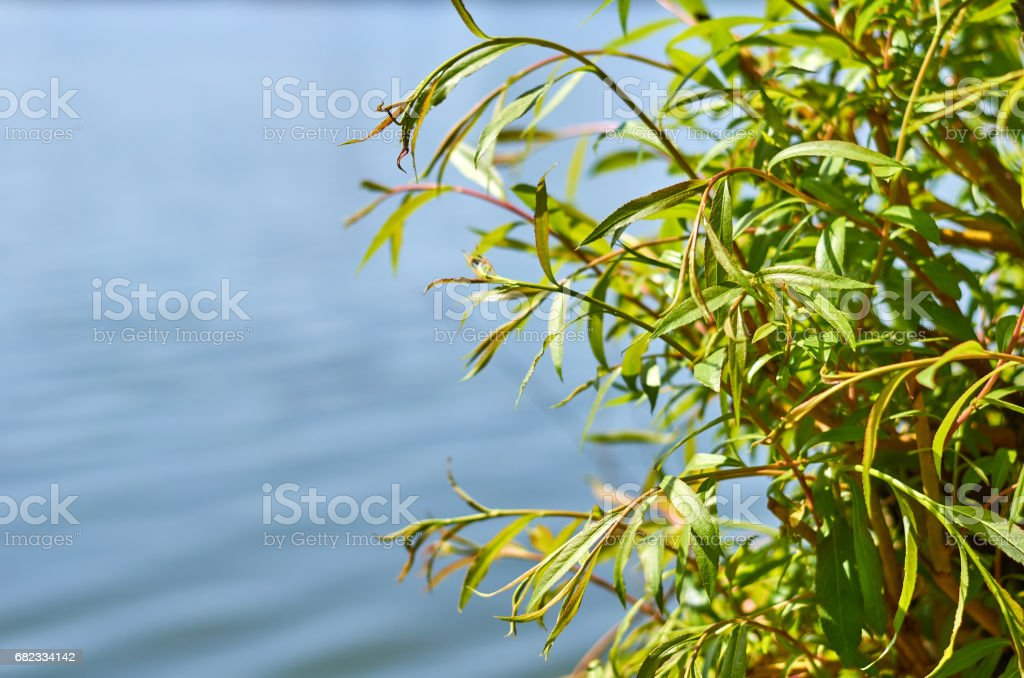 lush green vegetation on the background of the pond foto stock royalty-free