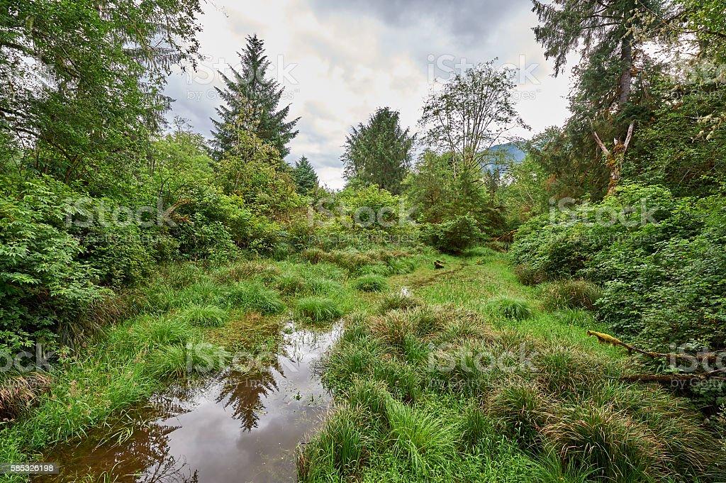Lush growth in a rainforest in Washington - foto de acervo