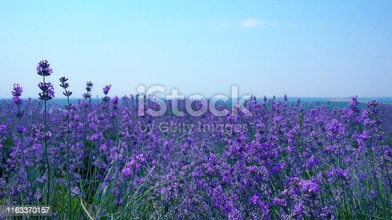 Lush lavender bushes in bloom on a lavender field close-up on a background of blue  sky