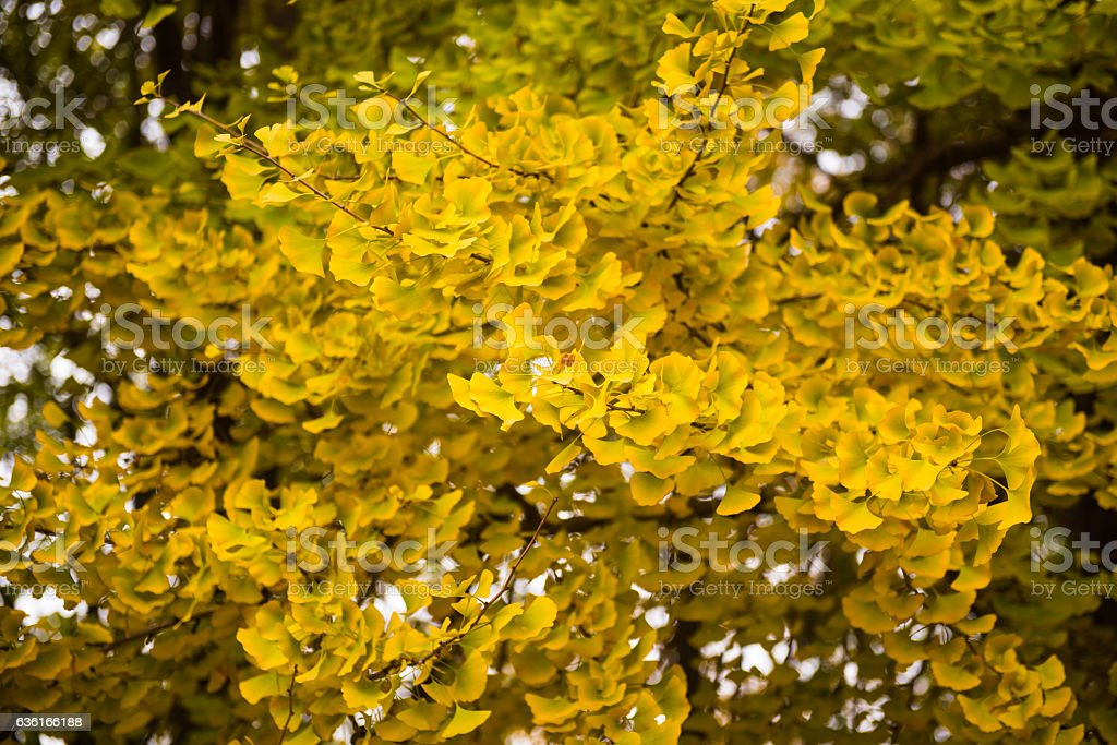 Lush leaves of autumn. stock photo