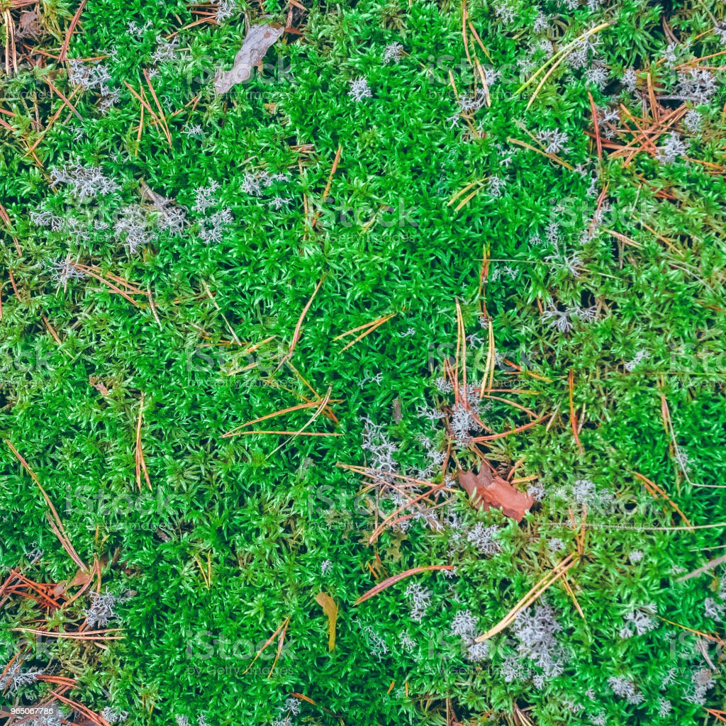 Lush moss in a forest royalty-free stock photo