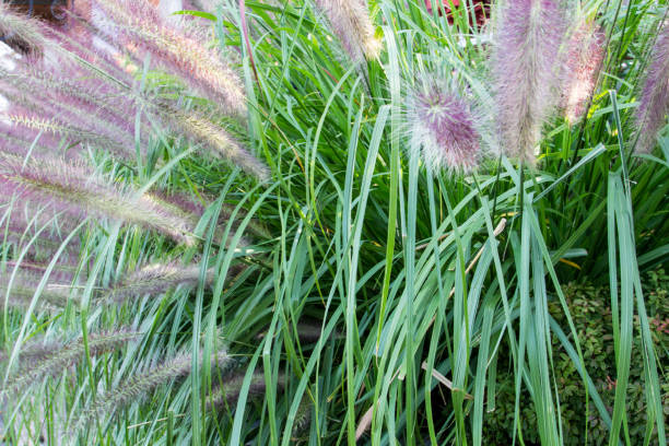 Lush Ornamental Grass In The Summer Garden stock photo